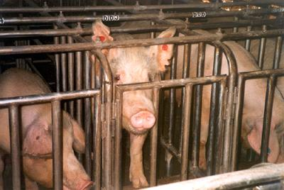 confined pigs